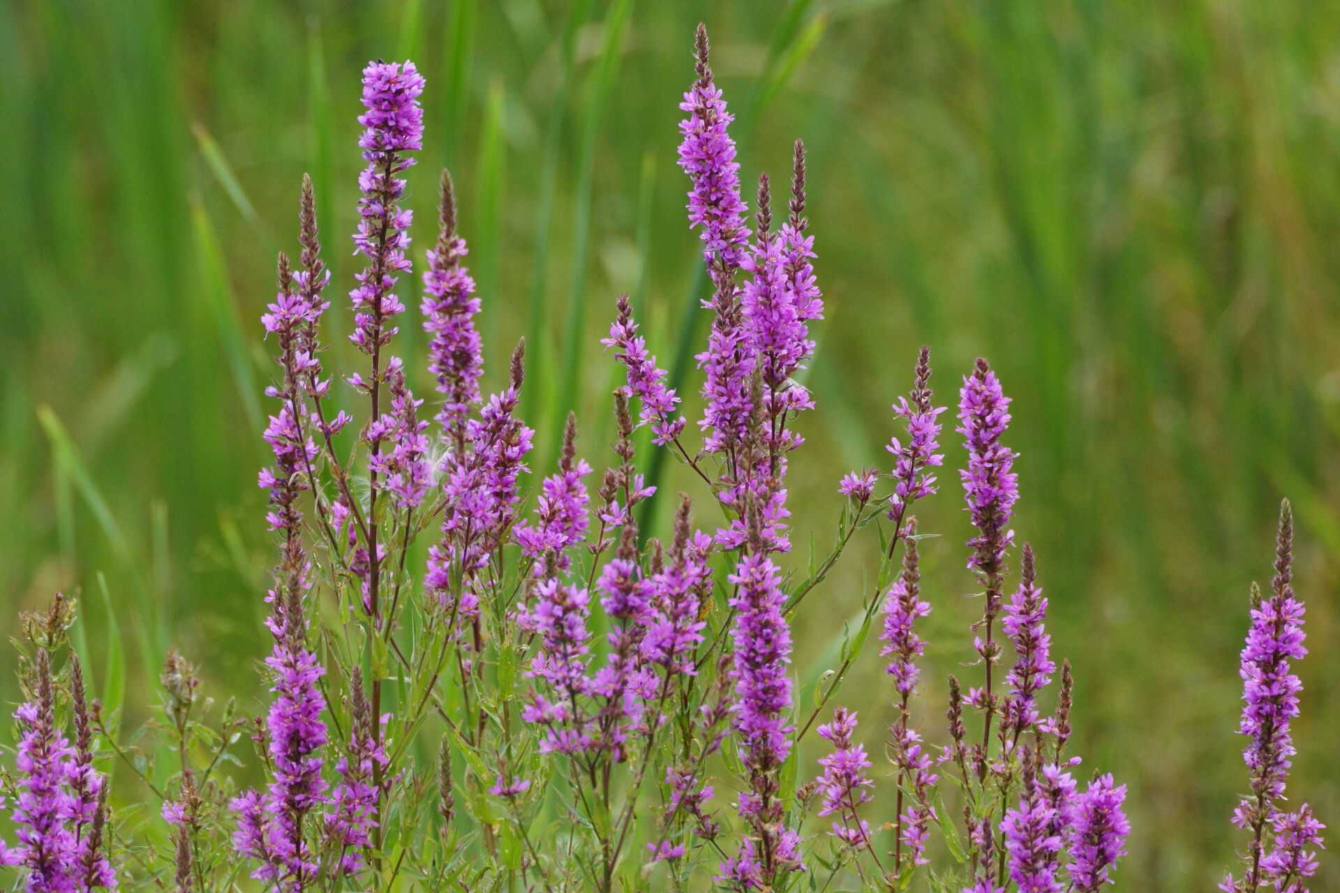 Purple loosestrife is an invasive wetland plant